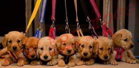 للبيع  KGPاجمل جراوى جولدن نتاية  ودكر بيور دباديبب  مطعمين خماسى بالشهادات  Males  & females  Golden Retriver  puppies