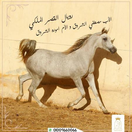 أقتني أجود الخيول العربية الاصيلة من مزرعة القصر الملكي ٠١٠٢٣٠٣٦٦٢٣
